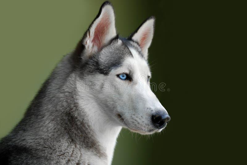 Blue - eyed siberian husky royalty free stock images