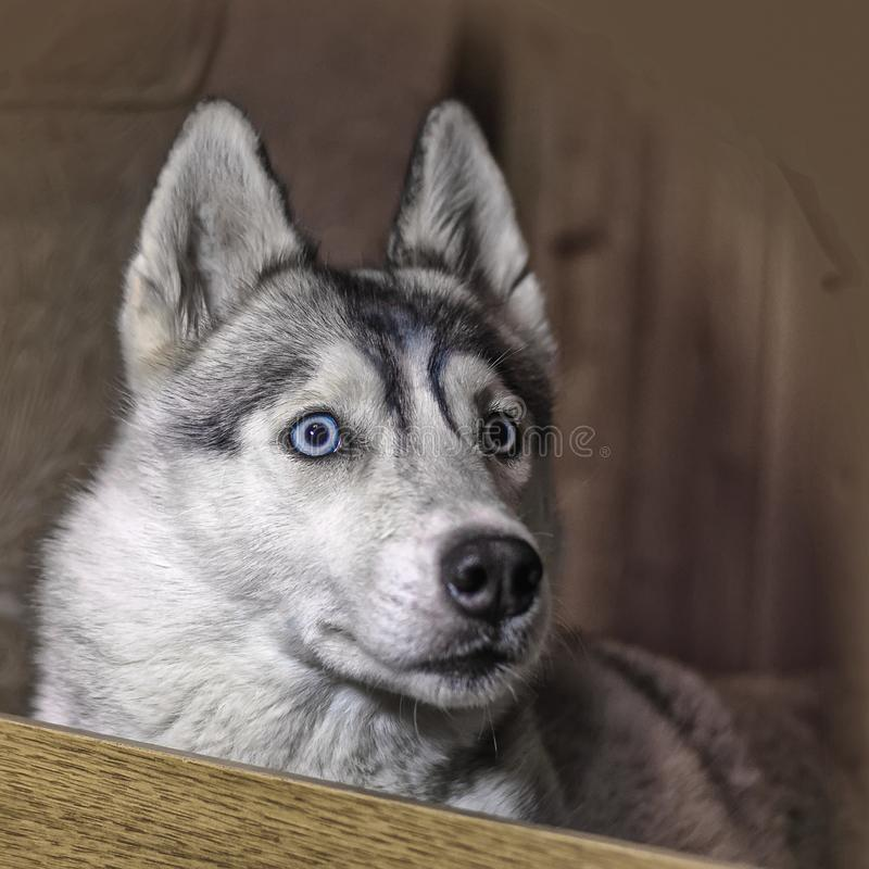 Blue-eyed Siberian Husky looking at the camera. Blue-eyed grey Siberian Husky looking at the camera stock images