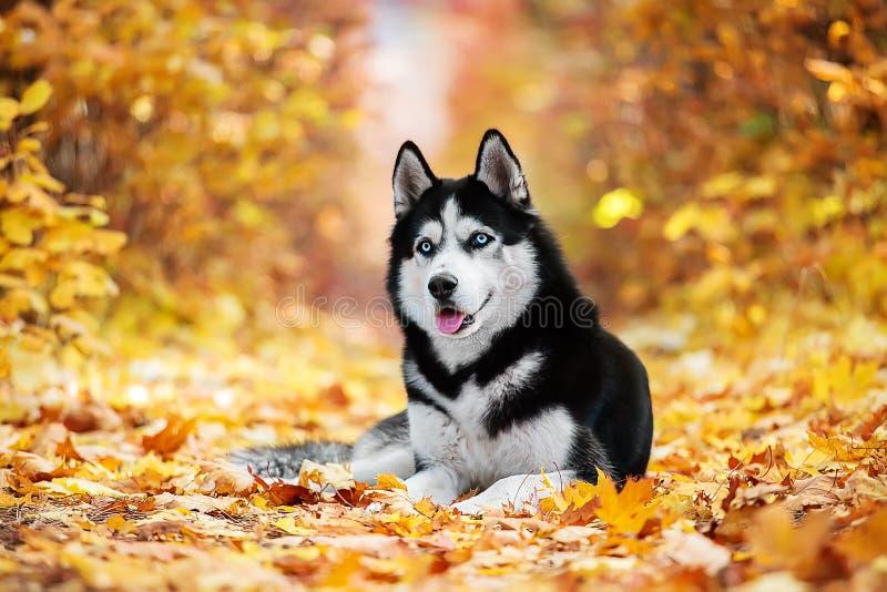 The blue-eyed Siberian Husky stock photos