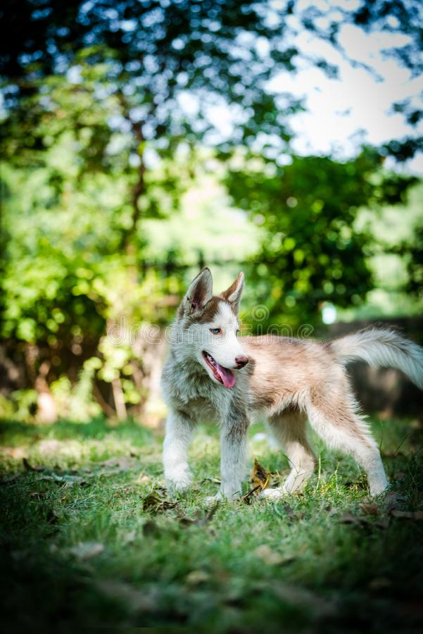 Blue eyed Siberian Husky Puppy. Cute blue eyed Siberian husky puppy standing  and looking around in local park royalty free stock images