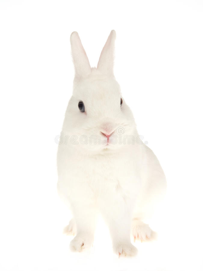 Blue-eyed White Netherland dwarf rabbit, on white stock photography