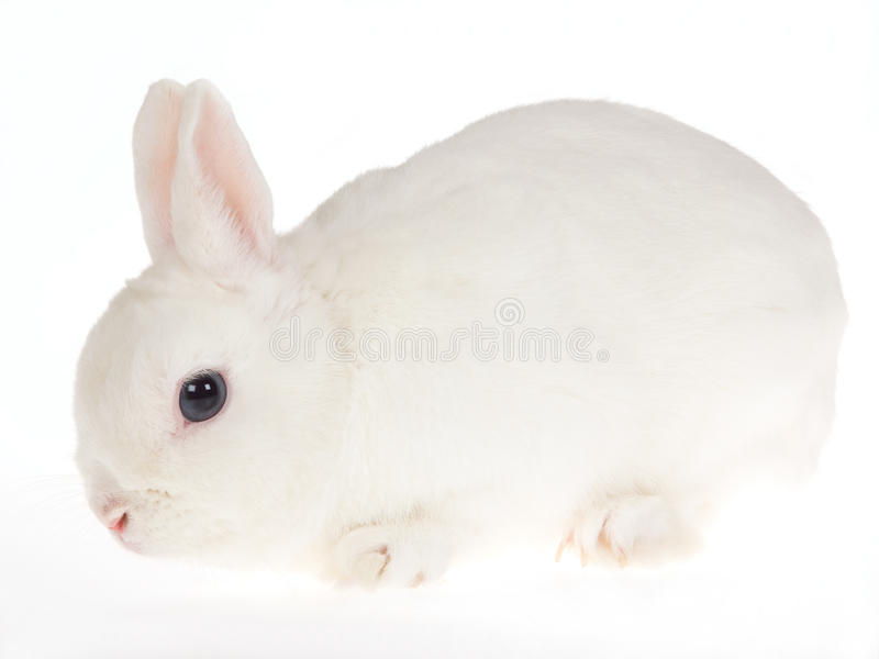 Blue-eyed White Netherland dwarf rabbit, on white. Side profile of blue-eyed White Netherland dwarf rabbit, on white background stock photo