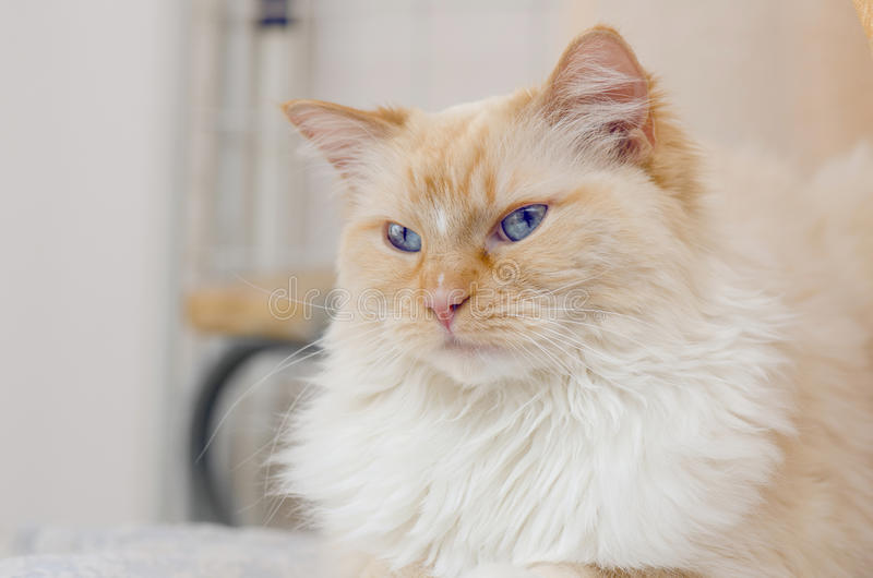 Blue Eyes Cat stock photo
