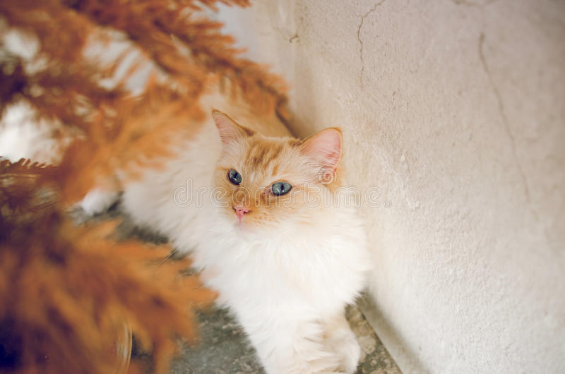 Blue Eyes Cat royalty free stock image
