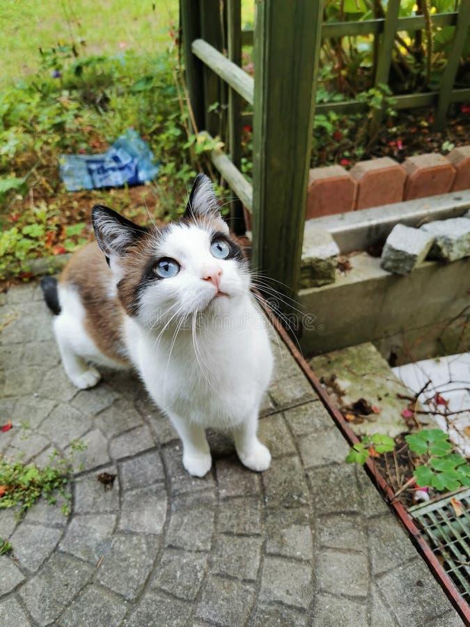 Blue eyes cat royalty free stock photography