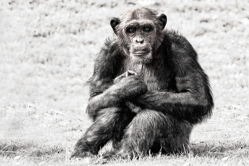 Blue eyes chimpanzee monkey in b&w. Blue eyes Ape chimpanzee monkey looking at you in black and white while looking at you stock photo