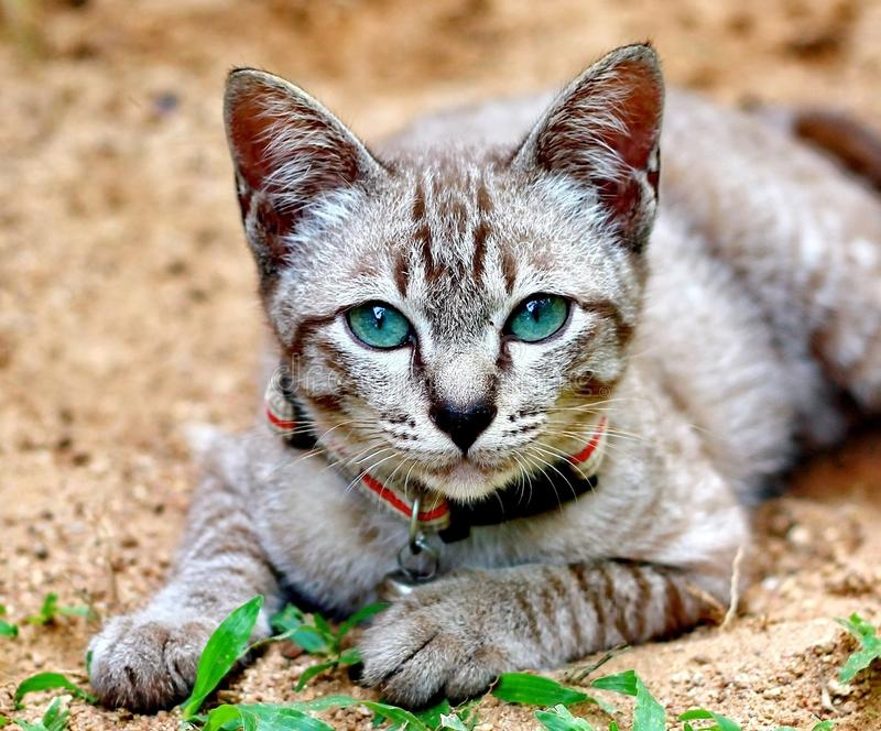 Blue eyes Domestic Cat. Blue eyes of Domestic Cat royalty free stock photos
