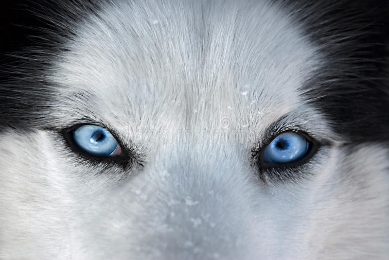Those blue eyes in front ... royalty free stock photo