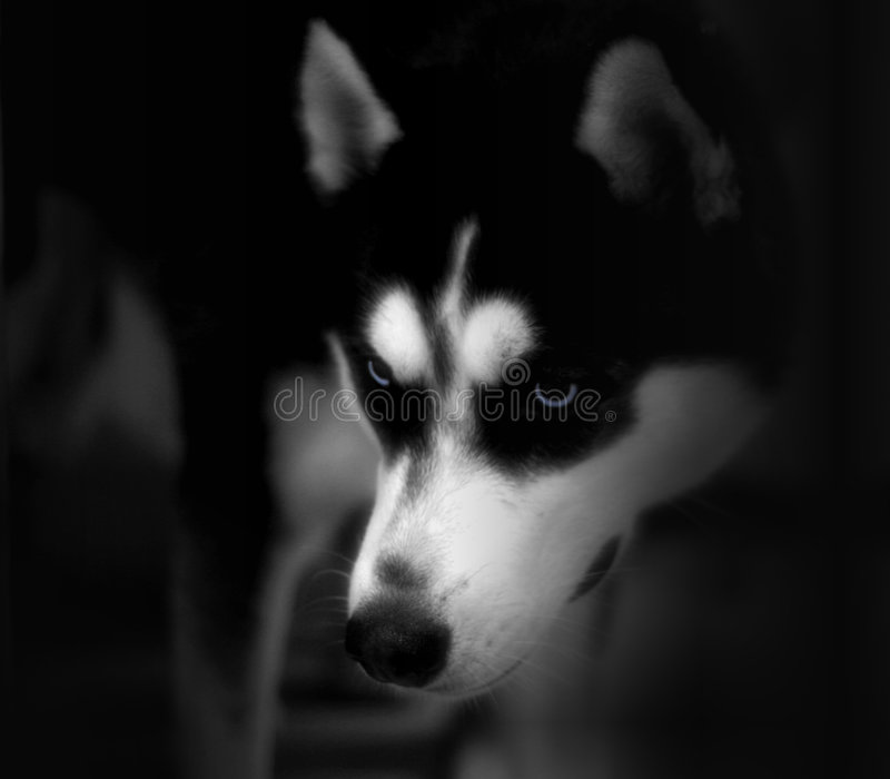 Blue Eyes, Husky royalty free stock photo