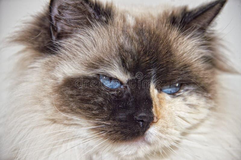 Blue Eyes white and black ragdoll cat. Portrait stock photo