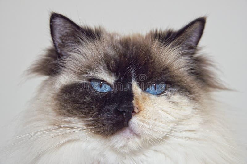Blue Eyes white and black ragdoll cat. Portrait royalty free stock photo