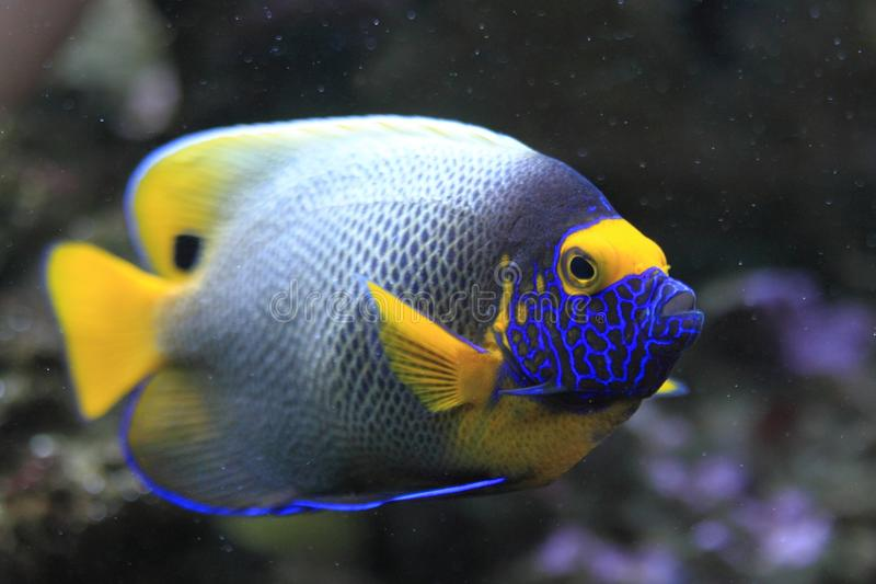 Download Blue Face Angelfish stock image. Image of saltwater, face - 22339587