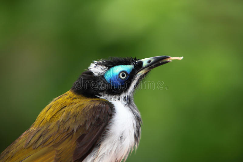 Download Blue faced honeyeater stock photo. Image of posing, portrait - 14585904
