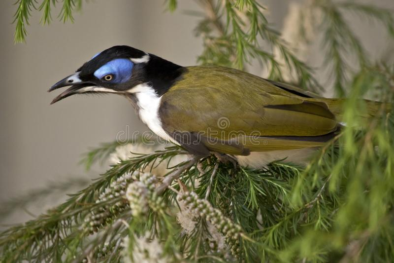 Blue faced honeyeater or banana bird stock image