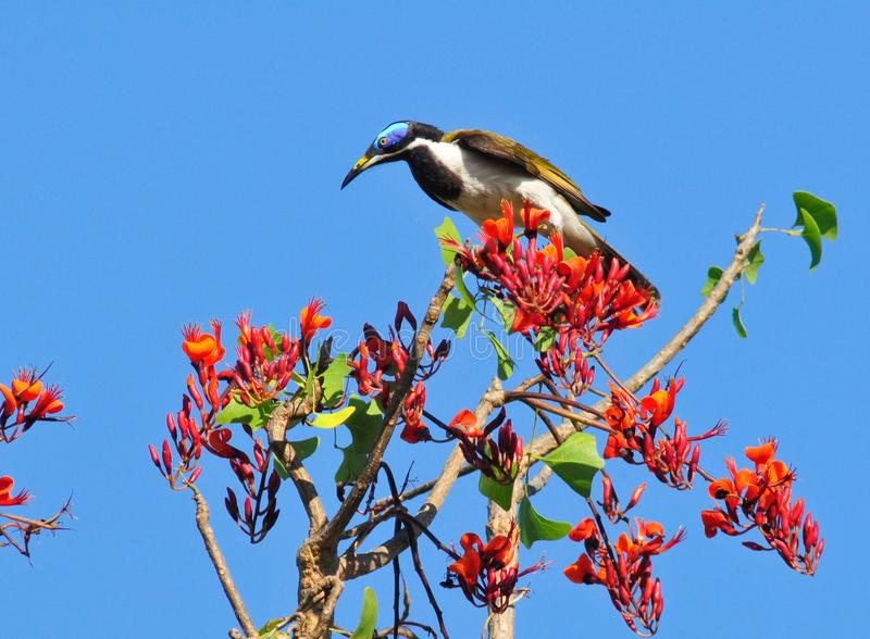 Blue-faced honeyeater royalty free stock photos