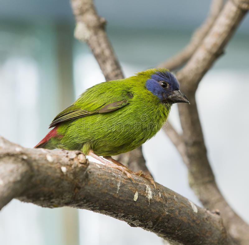 Download Blue Faced Parrot Finch stock photo. Image of wildlife - 32363140
