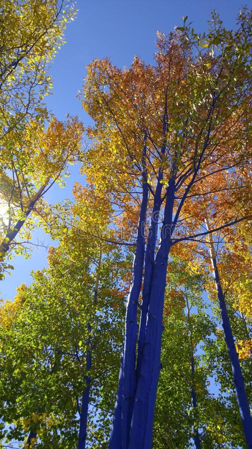 Blue Fall Aspen stock photos