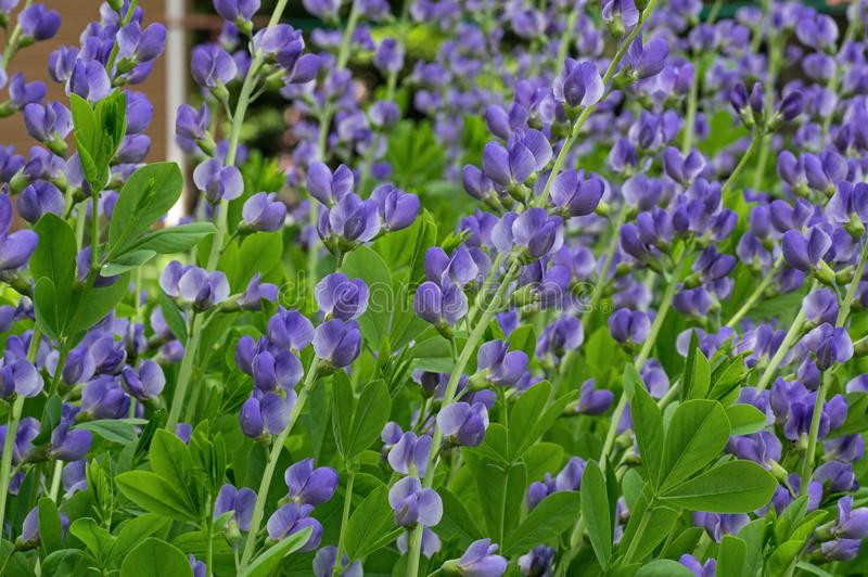 Blue False Indigo on a cloudy day. Baptisia australis, commonly known as blue wild indigo or blue false indigo on a cloudy day in the garden. It is a flowering stock images