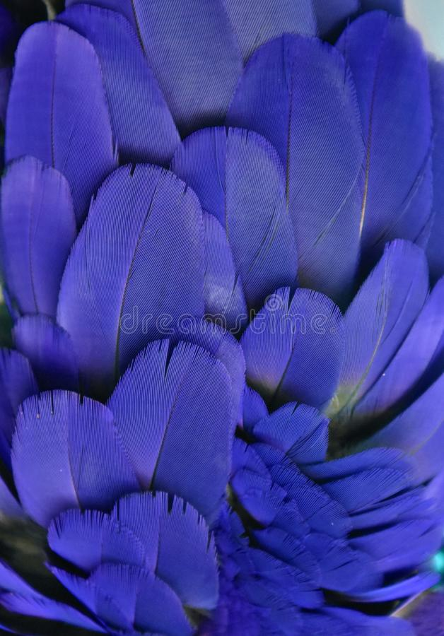 Blue Feathers of a Macaw Parrot royalty free stock image