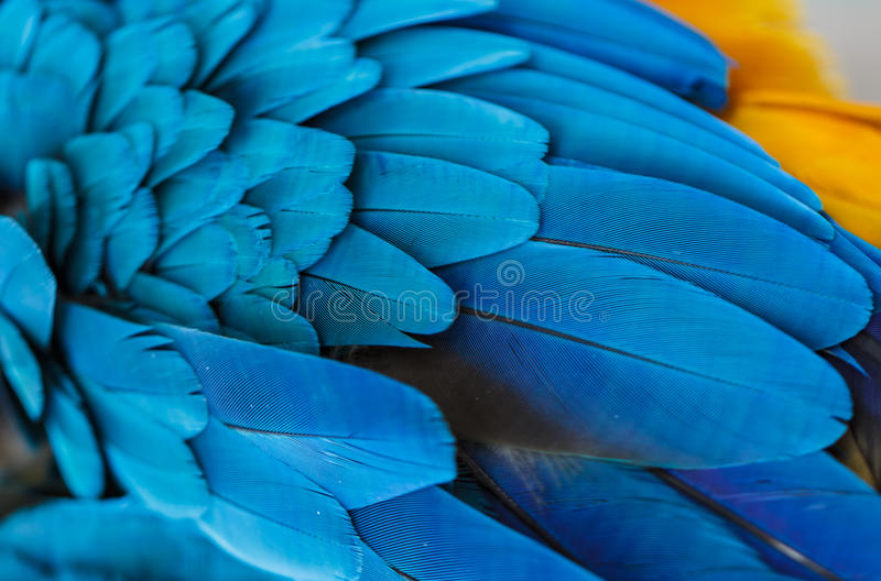 Blue feathers. of Parrot Macaw. With beautiful colors royalty free stock image
