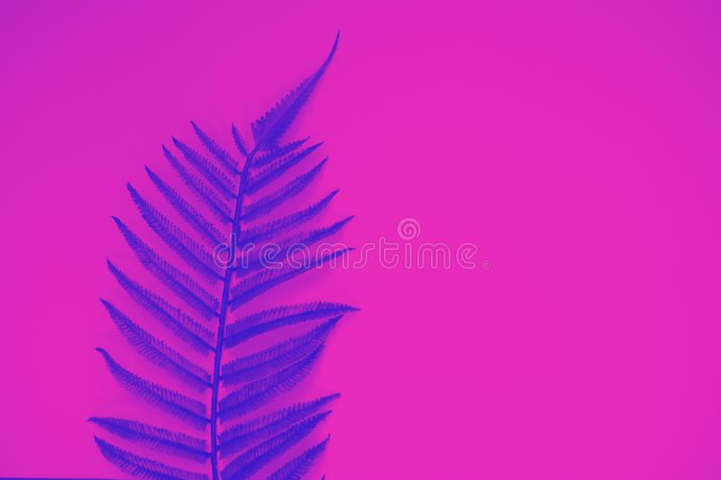 Blue fern exotic leaf against pink background, trendy neon toning. Flat lay, copy space royalty free stock photos
