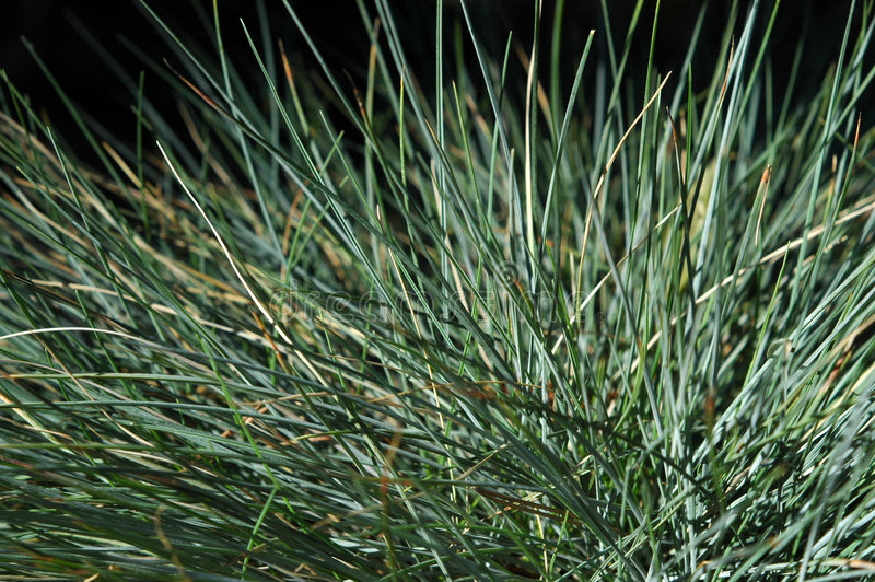 Blue Fescue Grass Macro. Macro close-up of blades of blues fescue grass royalty free stock photography