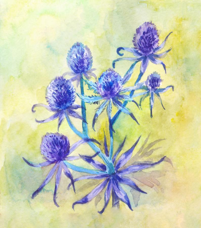Blue field eryngium. Watercolor illustration suitable for vintage herbal design. Watercolor eryngium. Flowering Apiaceae plant. Blue prickly grass on grin summer stock illustration