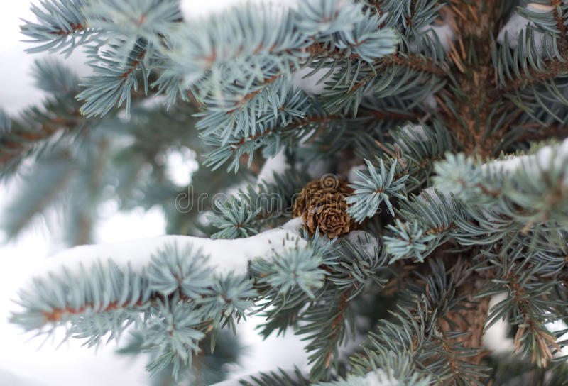 Blue fir tree stock photo