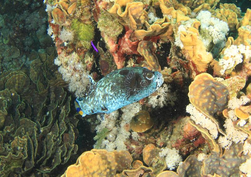 Blue fish on coral reef with corals and sponges stock photo