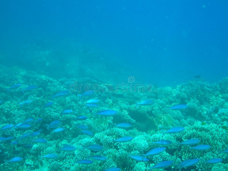 Blue fish with corals in Red Sea without filters. stock image
