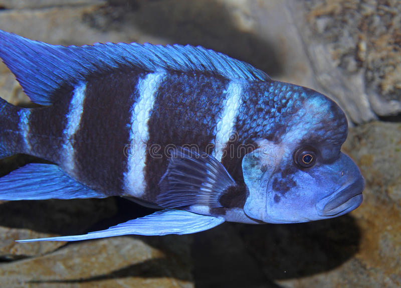 Blue fish with a large mouth swims in warm tropical seas 2. Big blue fish with a large mouth swims in warm tropical seas 2 stock photos