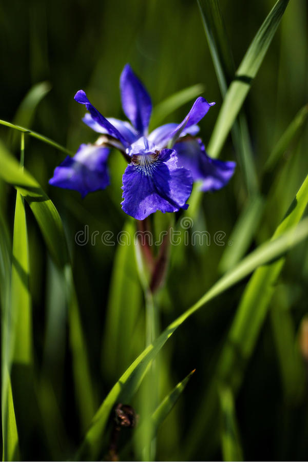 Download Blue Flag stock image. Image of purple, thorns, blooming - 23691901
