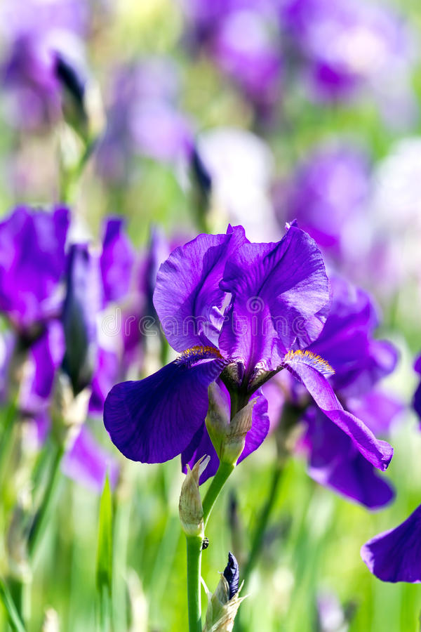 Free Blue Flag Iris Stock Image - 30823671