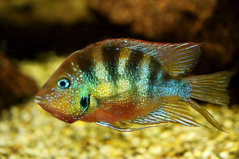 Blue Flash cichlid aquarium fish thorichthys aureus. Fish stock images