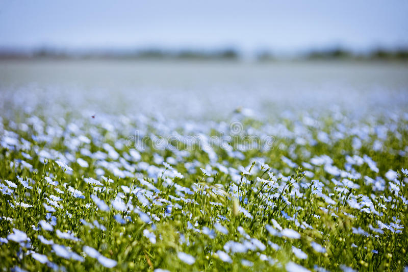 Blue flax field flowers stock photography