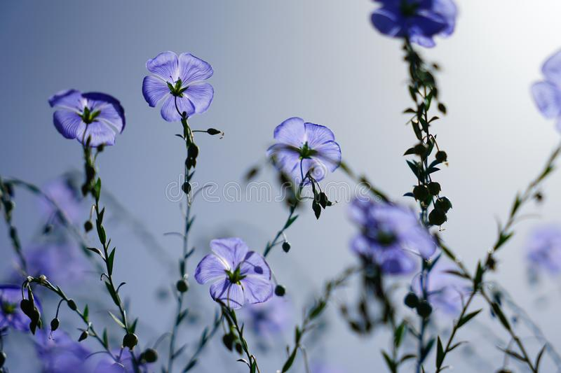 Blue flax flower bloom in summer stock photo