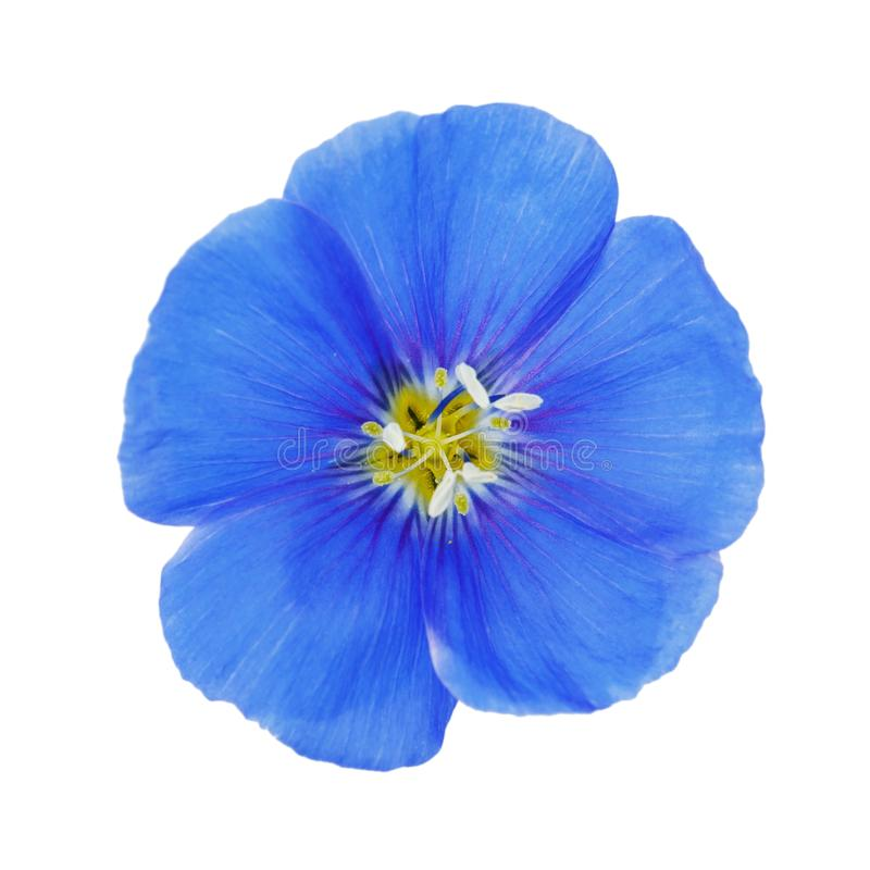 Blue flax flower isolated on white background royalty free stock photo