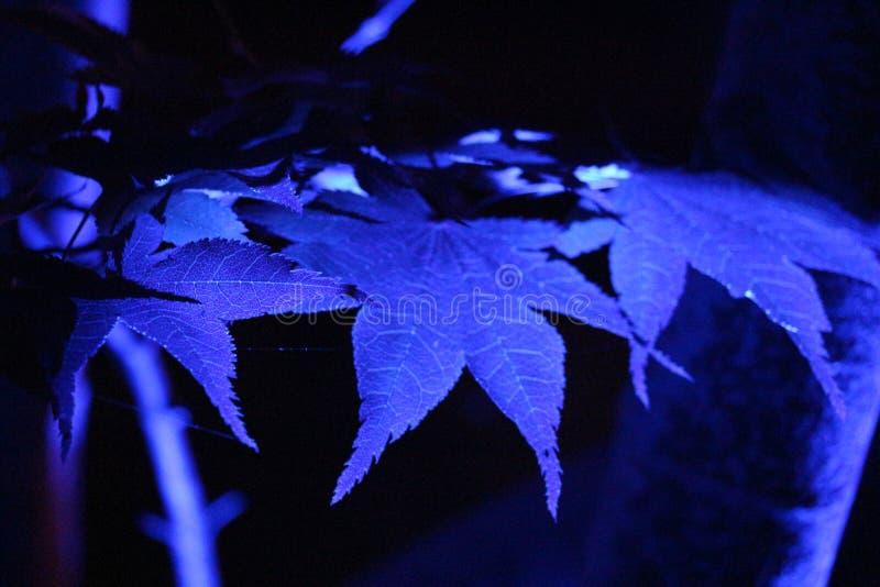 Blue florescent leaves stock image