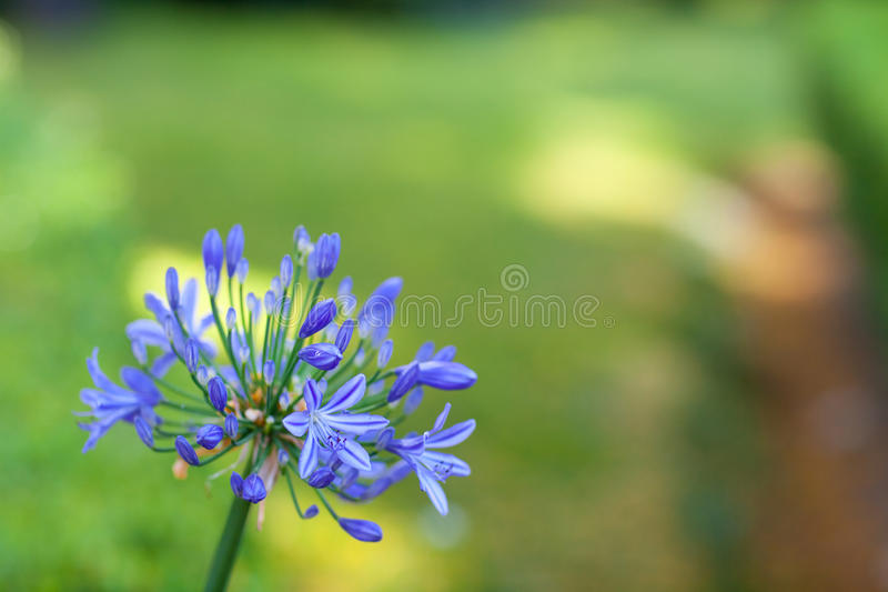 Blue Flower Royalty Free Stock Images