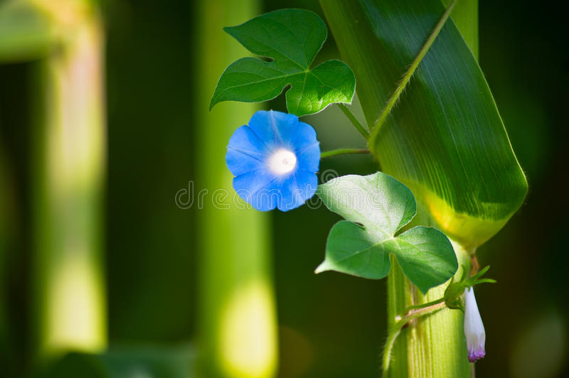 Download Blue Flower Royalty Free Stock Photos - Image: 25840768