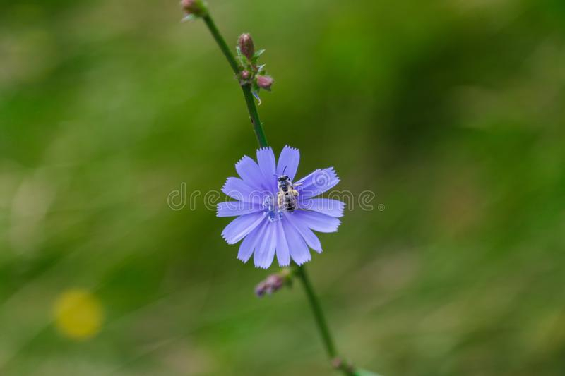 Blue flower and a bee royalty free stock image