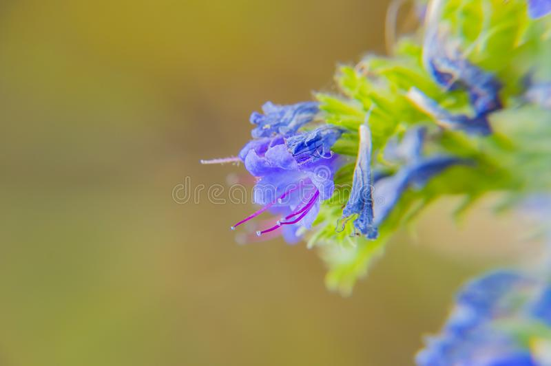 Blue flower bell on the meadow royalty free stock photography