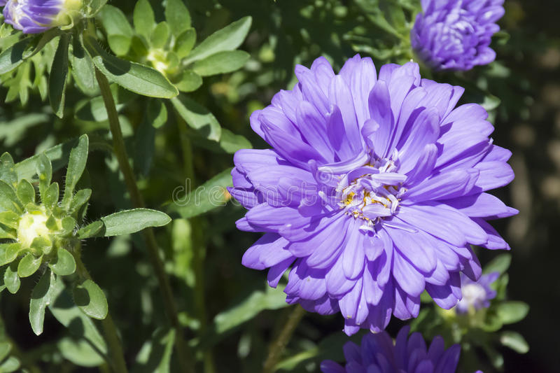 Blue Flower. Big blue flower that have few small blue flowers stock photos