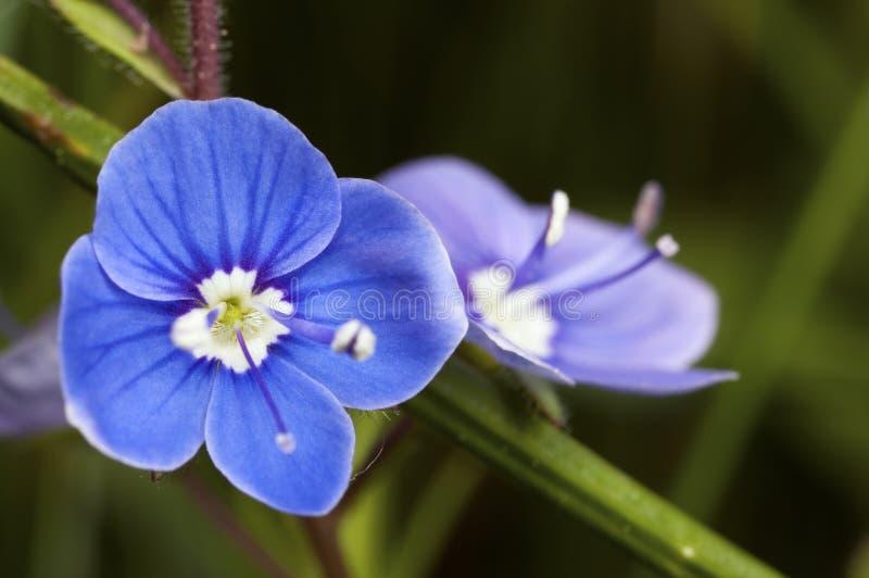 Download Blue flower bloom stock image. Image of green, summer - 25230985
