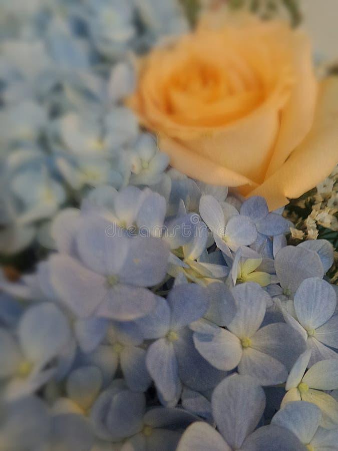 Blue flower with blurr orange rose. Background royalty free stock photo