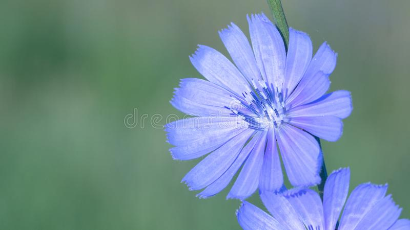 Blue flower is a chicory that grows on a meadow in the wild, close-up. A useful medicinal plant stock photography