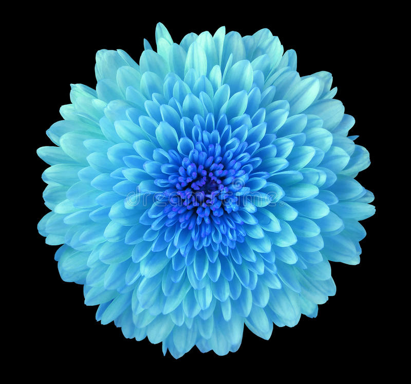 Blue flower chrysanthemum, garden flower, black isolated background with clipping path. Closeup. no shadows. blue centre. stock photography