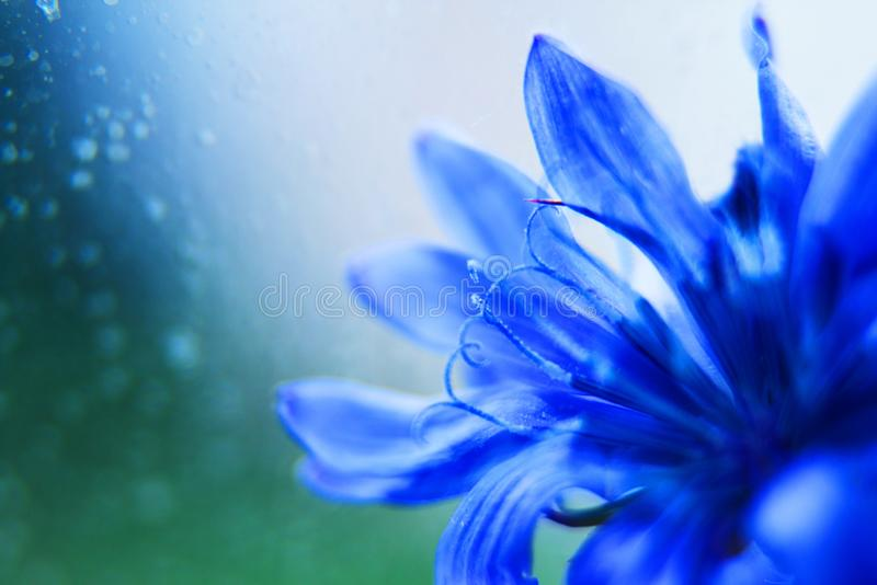 Blue flower close-up. cornflower. Empty space for a text stock photo