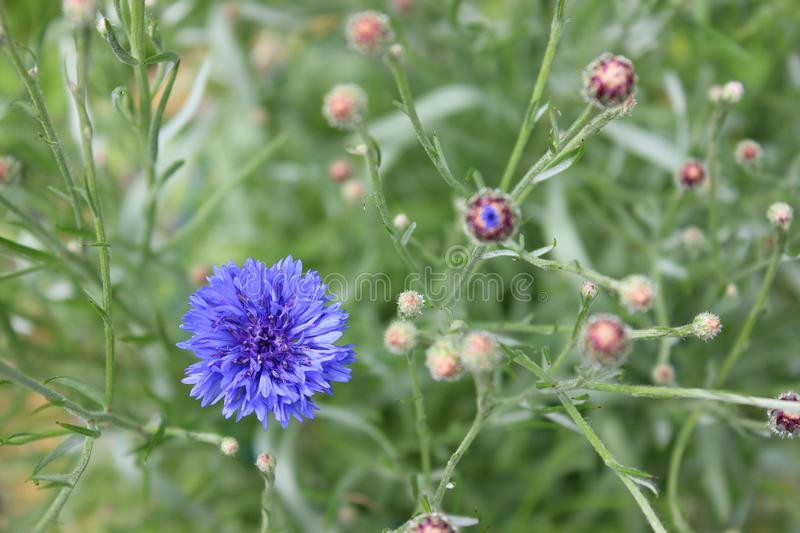 Blue flower cornflower. Blue flower of cornflowers in the city garden stock photo