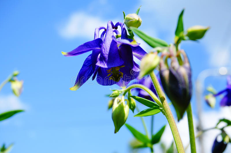 Blue flower of European columbine (Aquilegia vulgaris) in sunny royalty free stock photos